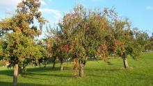 Plukklare appelbomen