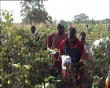 katoenpluk in Senegal